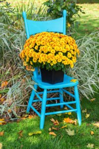 Blue chair with yellow mums.